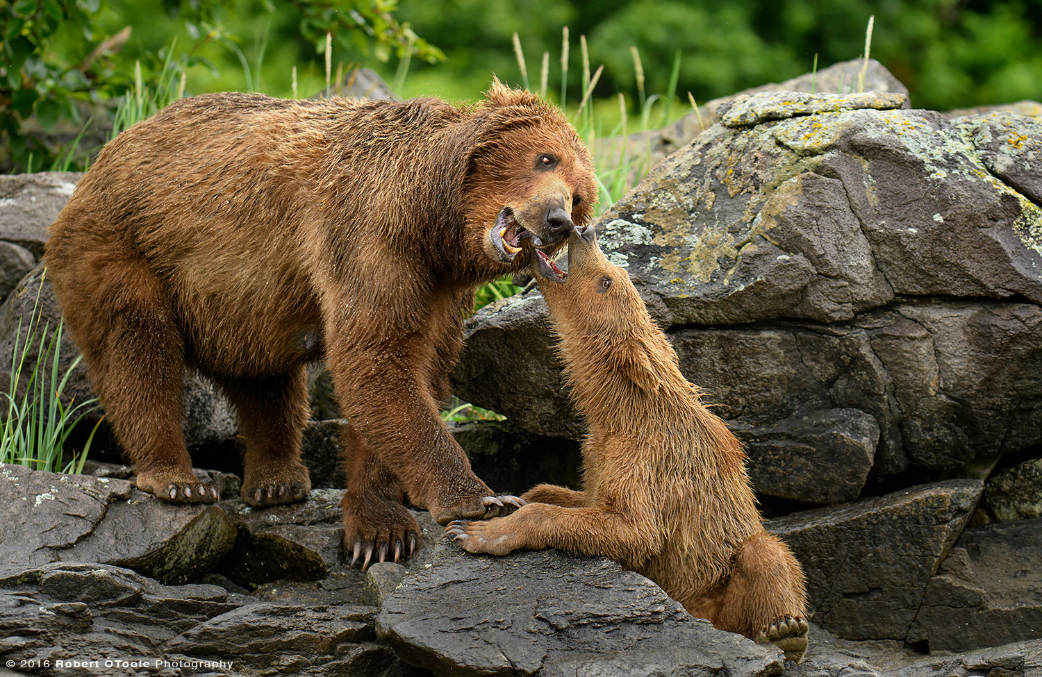 Bear Mother Playing with Cub on the Rocks
