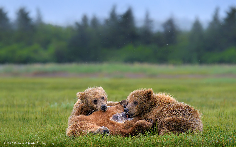 Bear-mother-nursing-Katmai-Alaska-Robert-OToole-Photography-2016