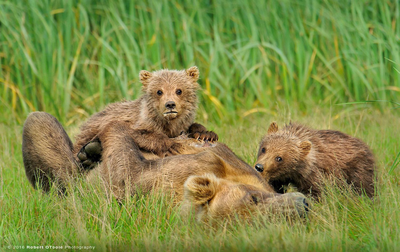 Brown Bear and Cubs Nursing