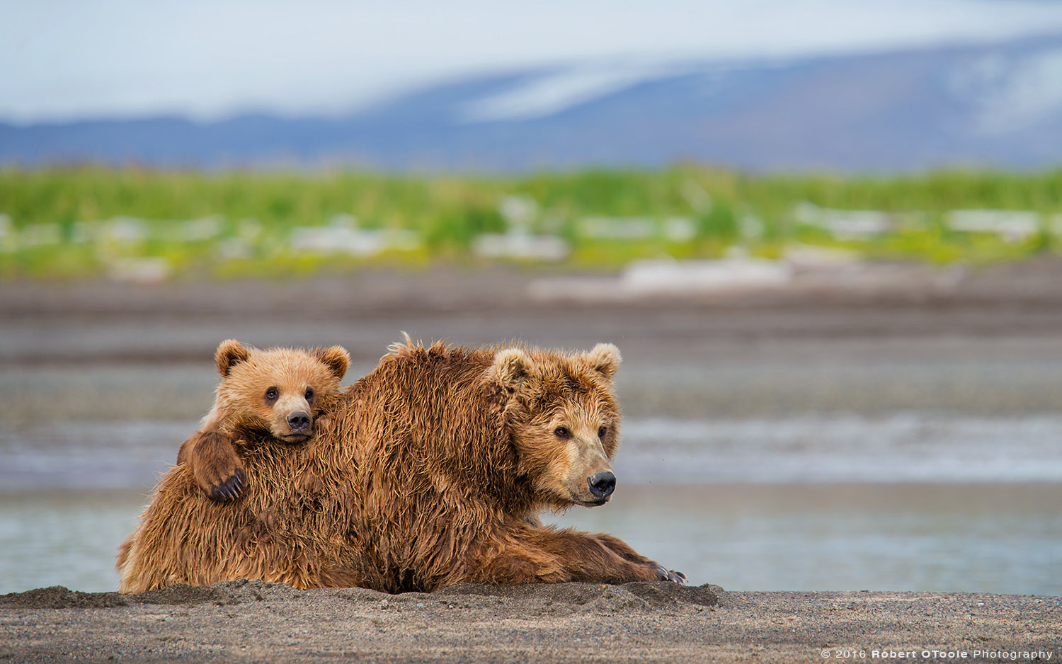Brown Bear Cub Resting on Mother on the Beach