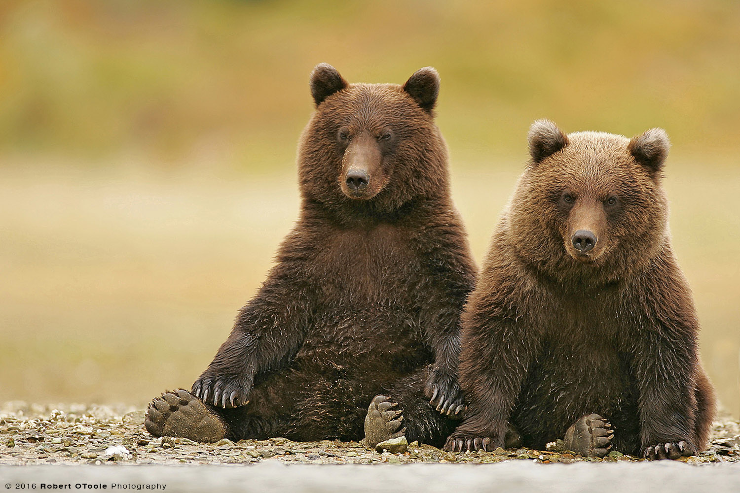 Brown Bear Cubs Sitting on the Bank of the River