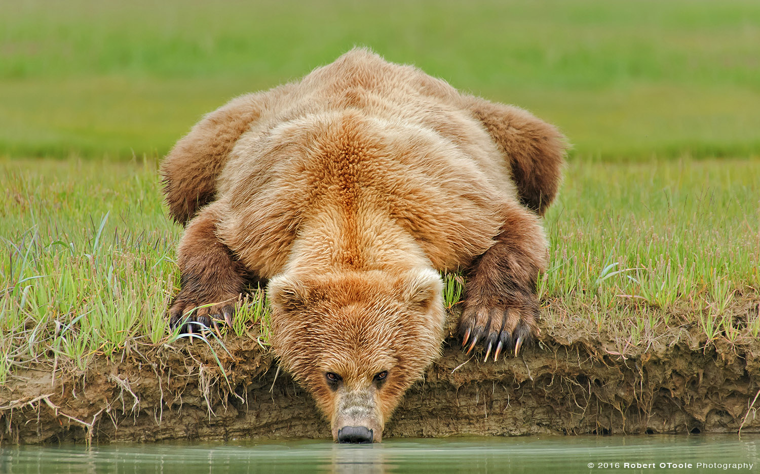 Brown Bear Laying Drinking Water from the Creek in Hallo Bay