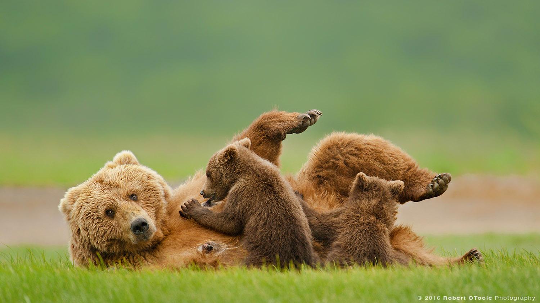 Brown Bear Nursing Two Cubs