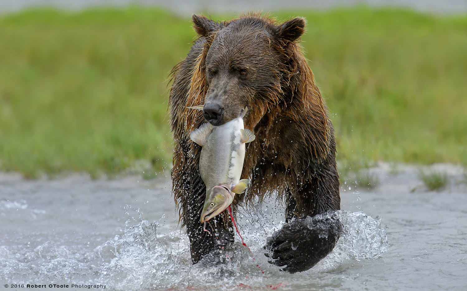 Brown Bear with Catch in Mouth