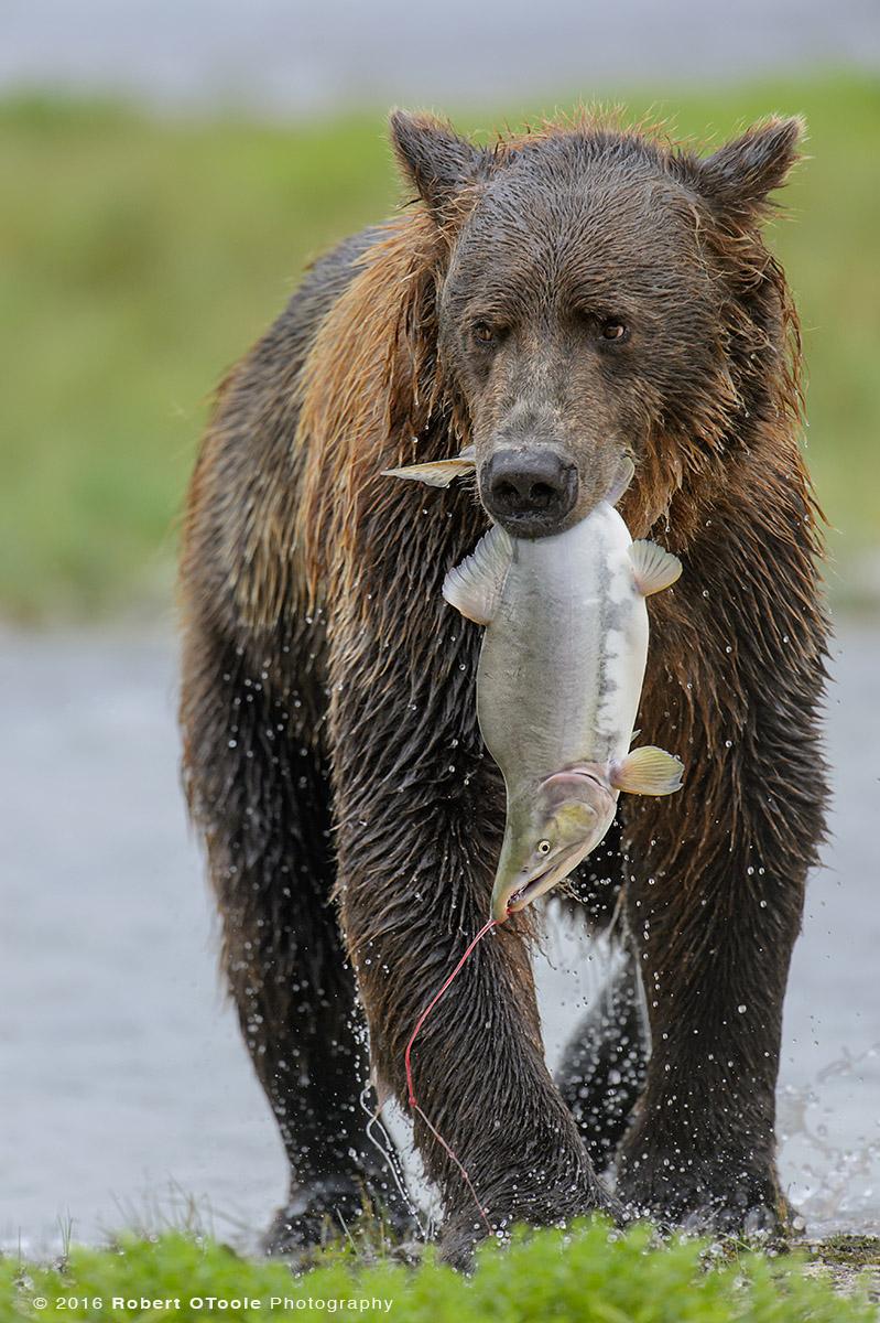 Brown Bear with Humpy Salmon