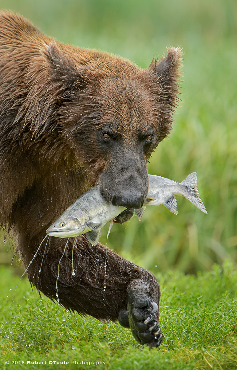 Brown Bear with Pink Salmon Vertical