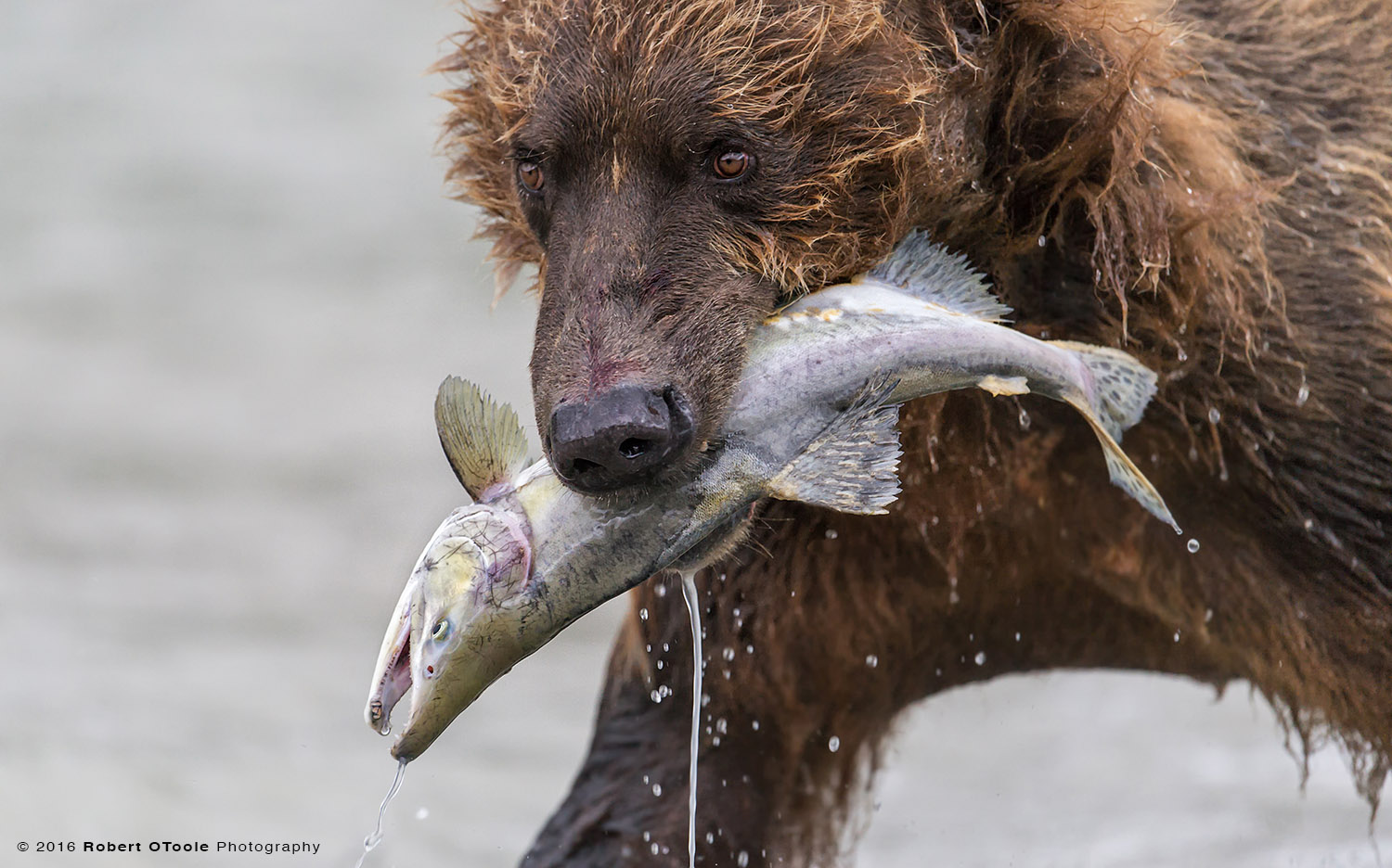 Brown Bear with Salmon Close up
