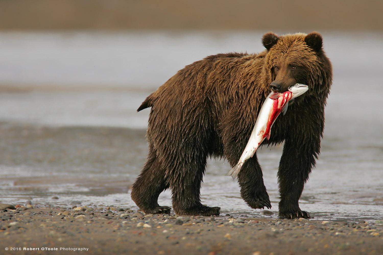 BrownBear-with-Bloody-Salmon- silver- Salmon-River-Alaska-Robert-OToole-Photography