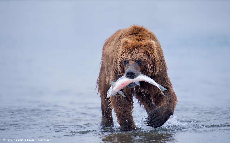 Hallo-bear-with-fish-2014-Robert-OToole-Photography