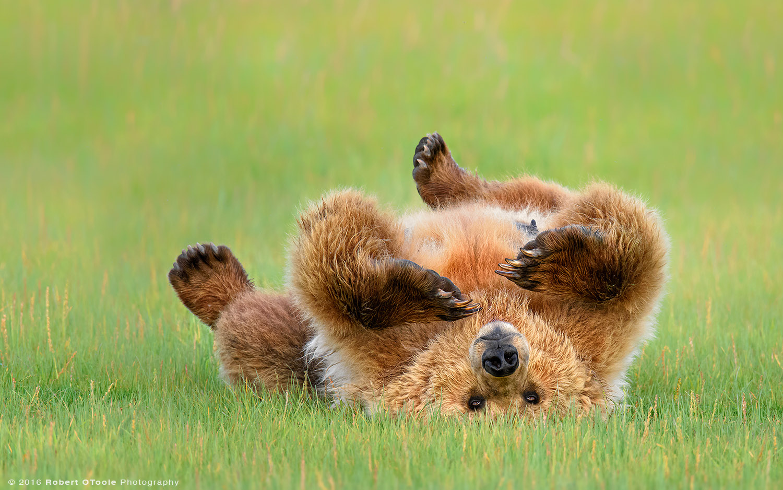 Brown-bear-upside-down-Robert-OToole-Photography-2015