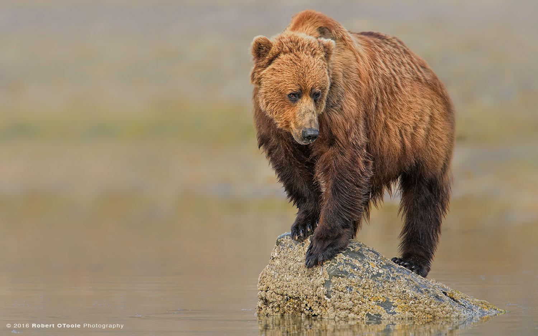 Brown Bear Sitting on Rock