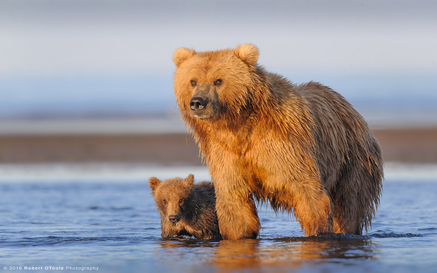 Mother-bear-and-cub-on-beach-on-perfect-morning-light-Robert-OToole-Photography