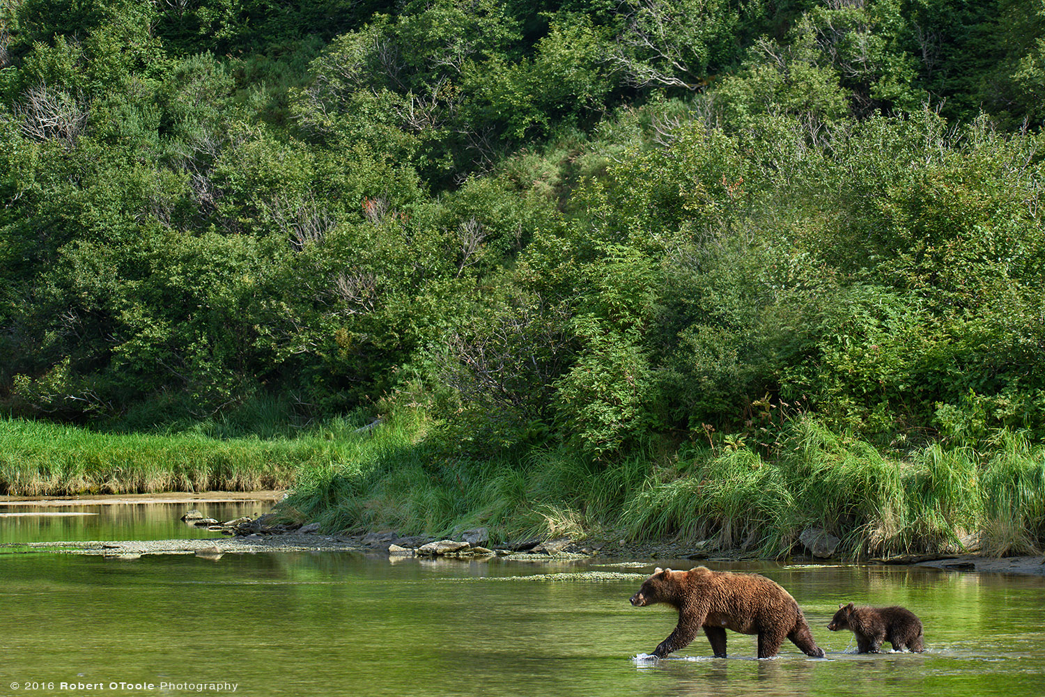 Mother Brown Bear and Cub Crossing a Creek