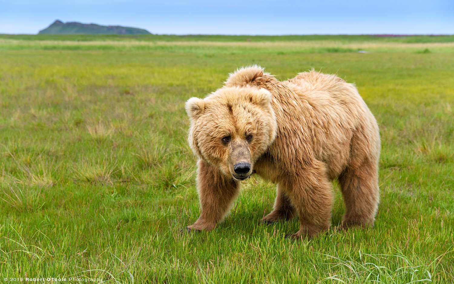 Blond Mother Brown Bear Wide Angle