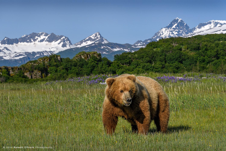 Mother-bear-mountains-and-fireweed-Hallo-Katmai-Alaska-Robert-OToole-Photography-2016