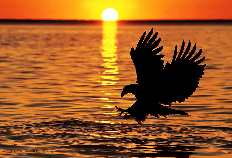 Bald Eagle Striking Against the Sun in Alaska