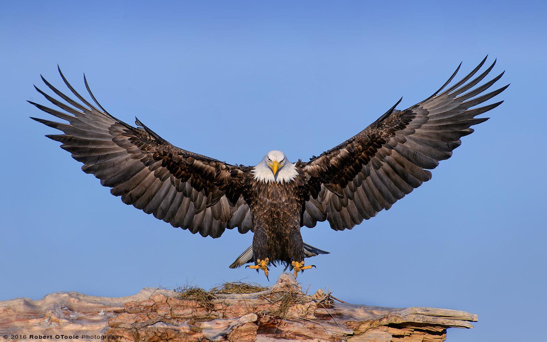 Eagle Landing on Driftwood in Alaska