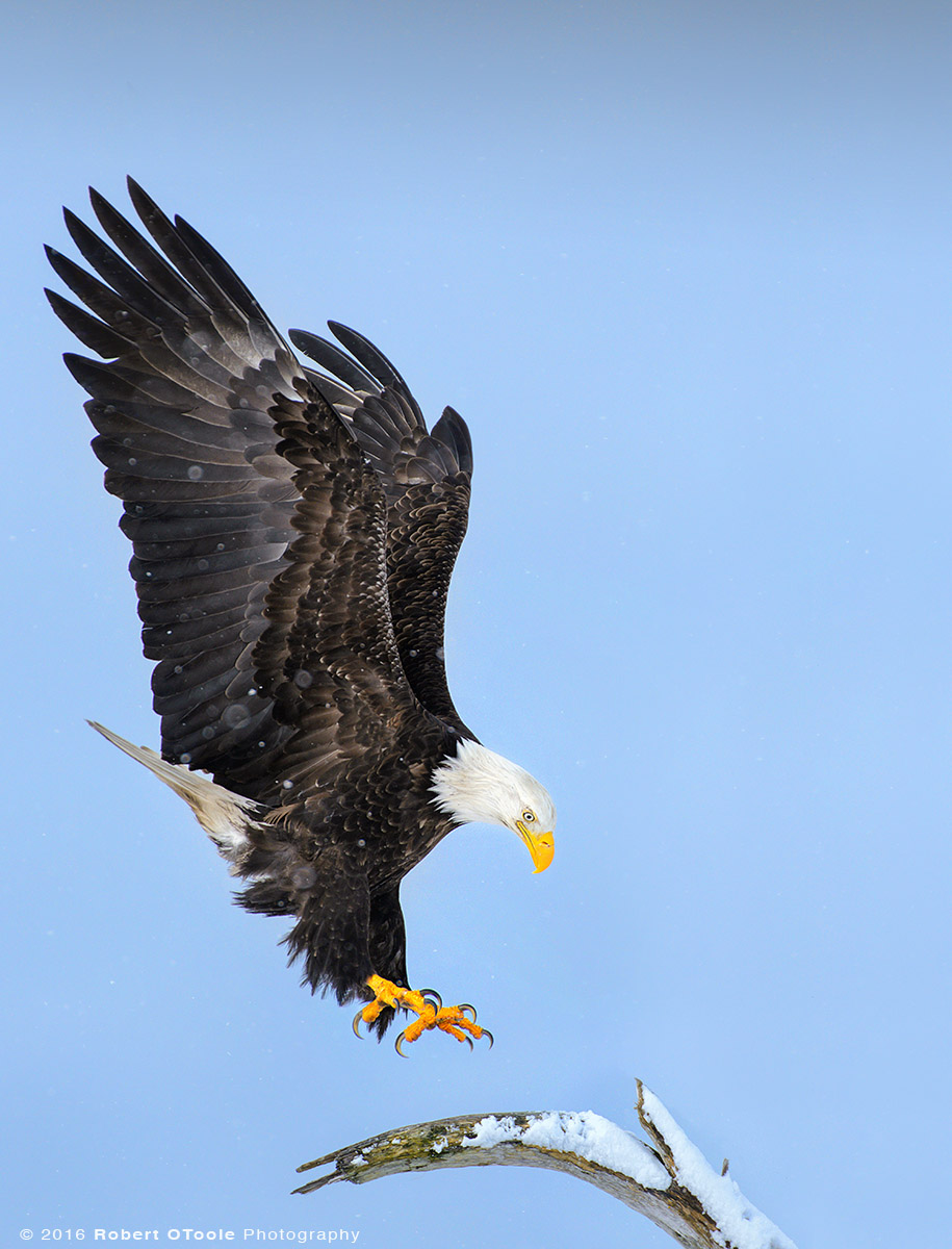 Eagle Landing on Perch in the Snow in Alaska