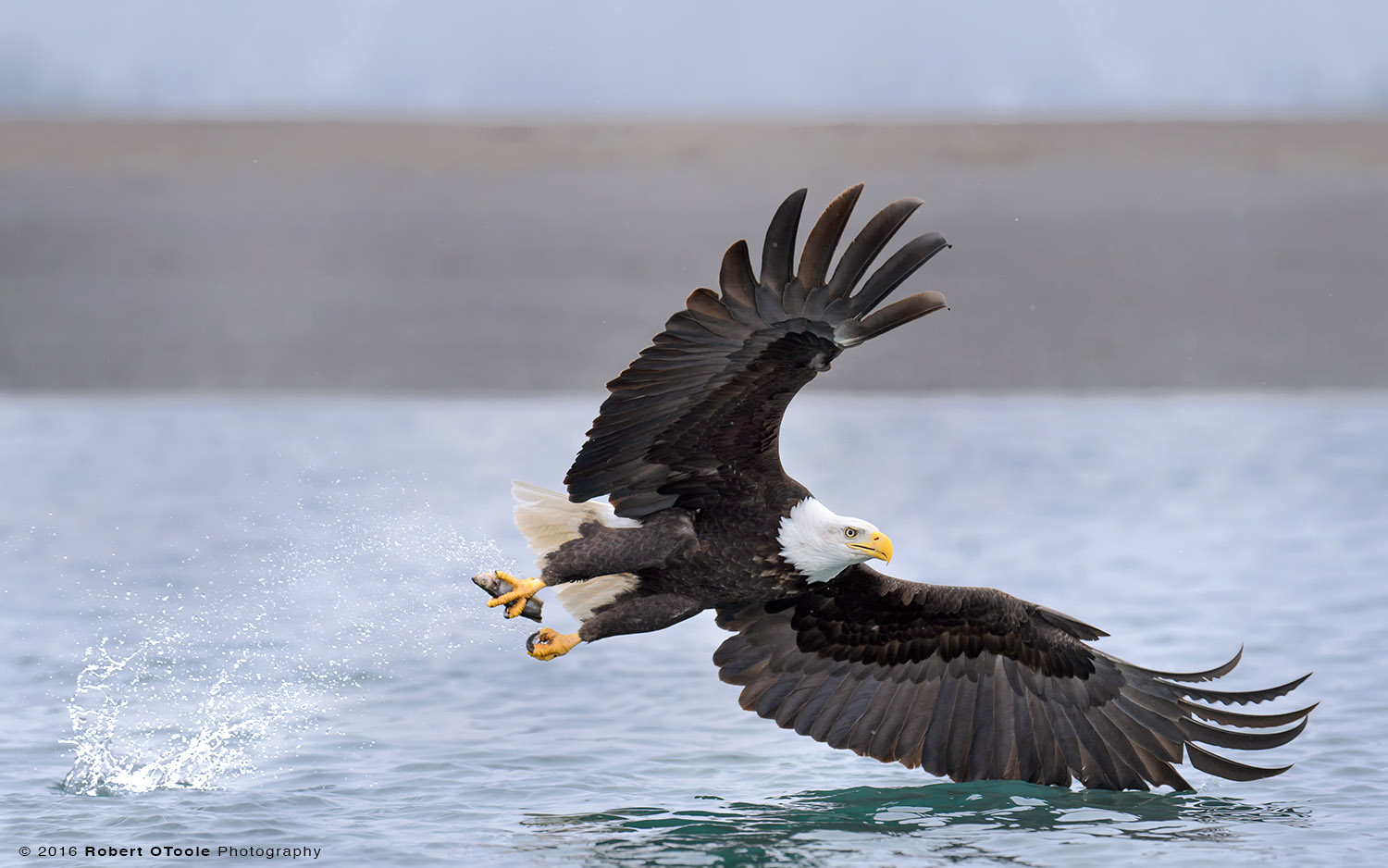 Bald Eagle Wings Forward for Grabbing