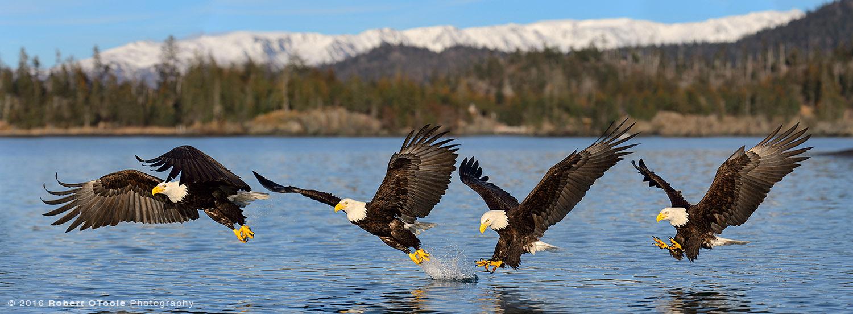 Bald Eagle Water Strike Sequence in Alaska