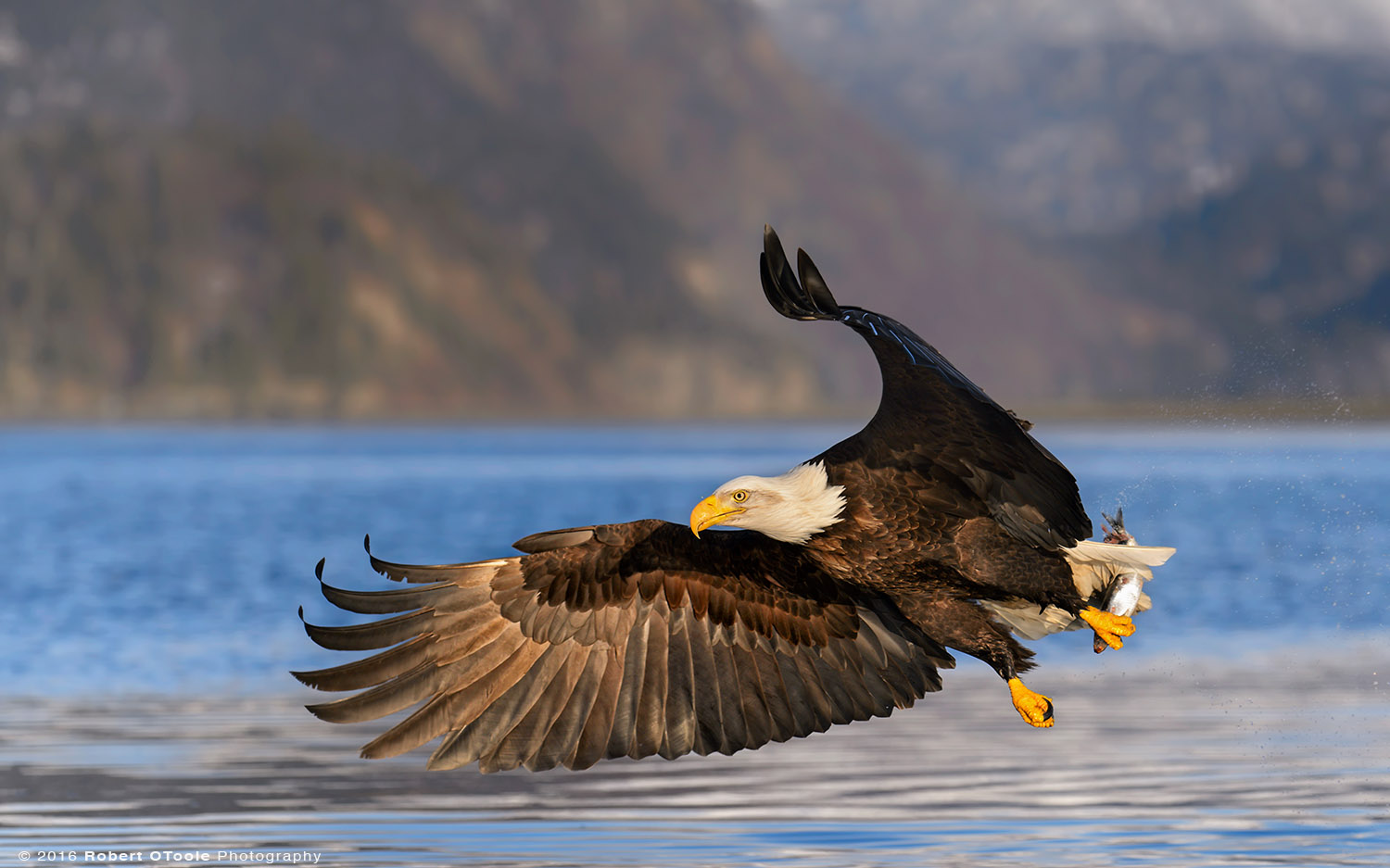 Bald Eagle Right Wing out