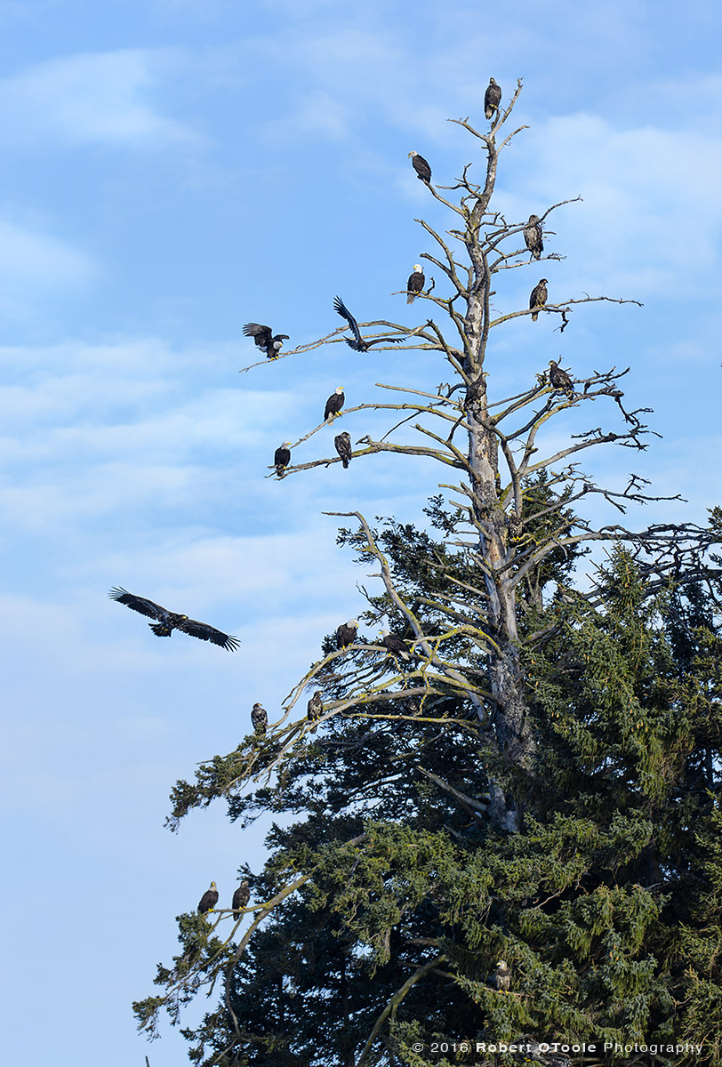 Bald Eagles and Spruce Tree
