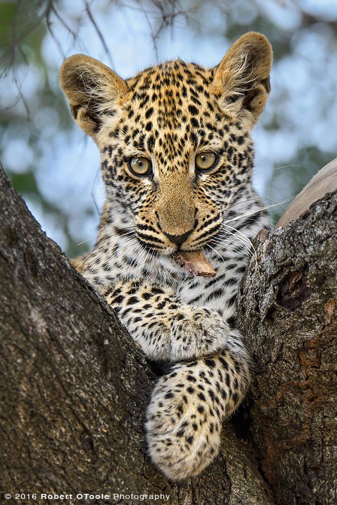 African Leopard Cub Close up