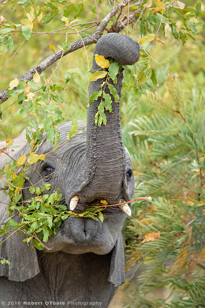 Elephant Baby Reaching for Food in South Africa
