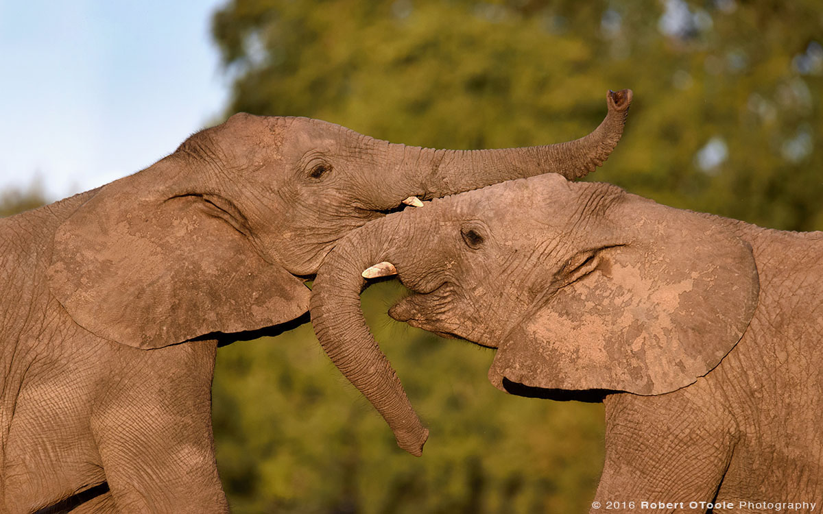 African Elephants  Playing with Trunks