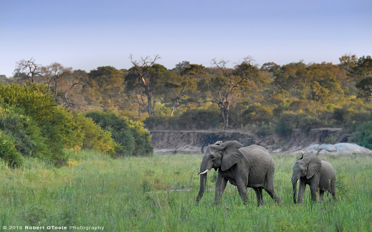 Adult African Elephant with Juvenile