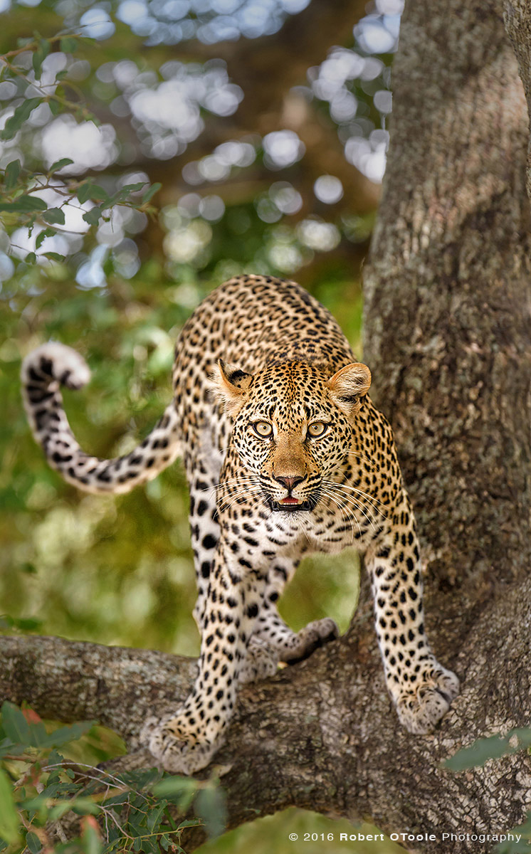 African Leopard Making Eye Contact