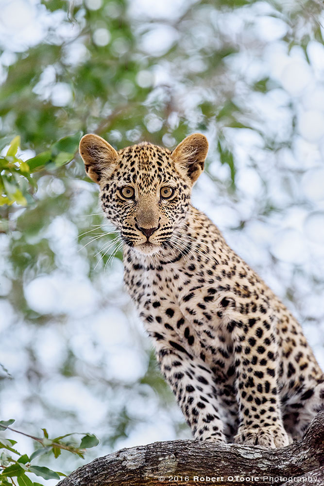 African Leopard Cub Staring at the Camera