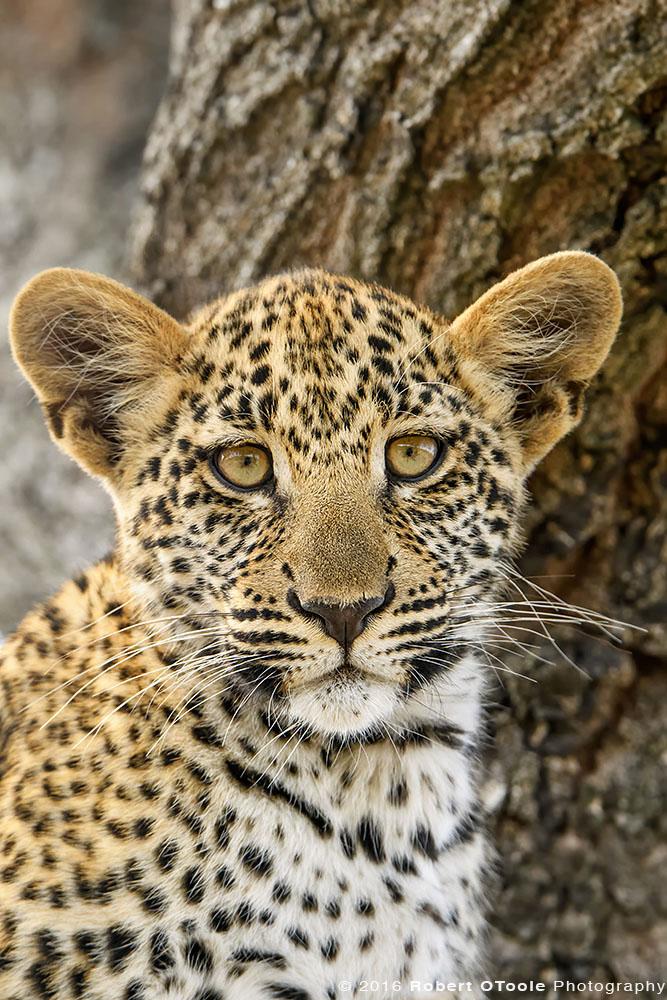 African Leopard Cub Portrait