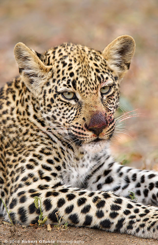 African Leopard Cub with Bloody Nose after Having a Big Lunch