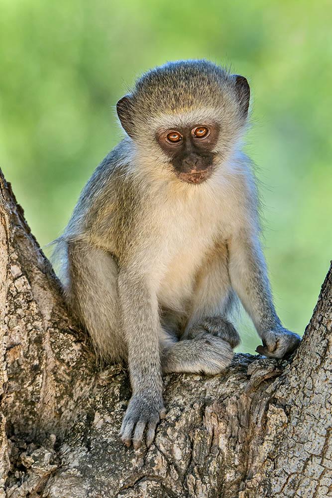 Vervet Monkey Making Eye Contact with Photographer
