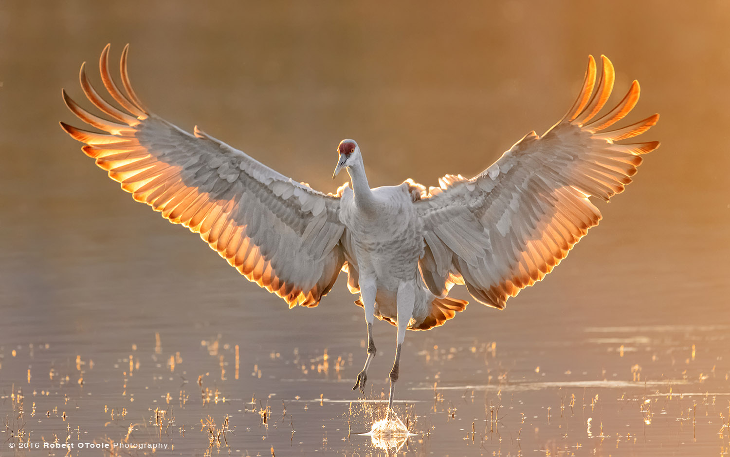 Sandhill Crane Backlit Touching Down
