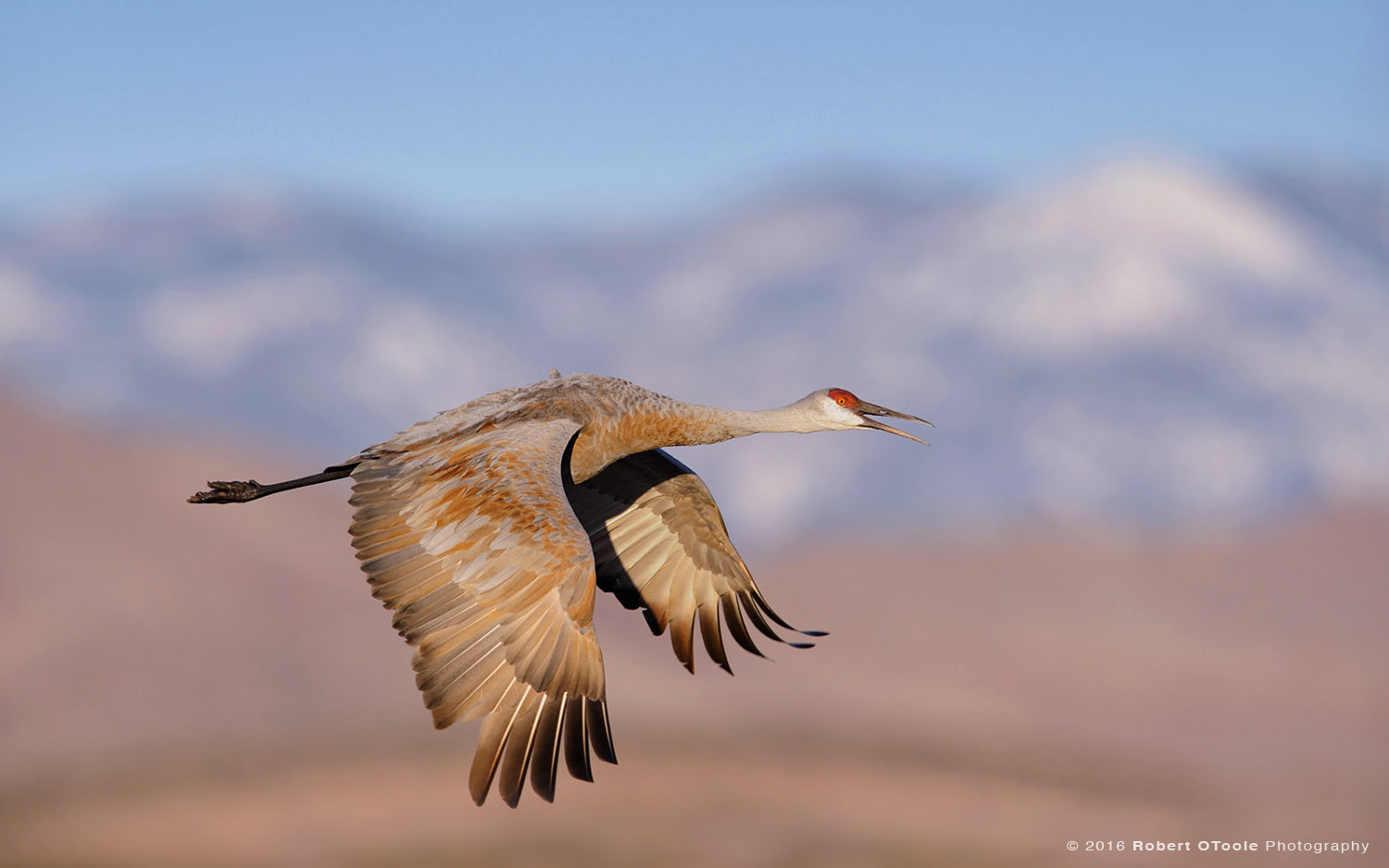 Sandhill Crane and Snow Capped Mountains
