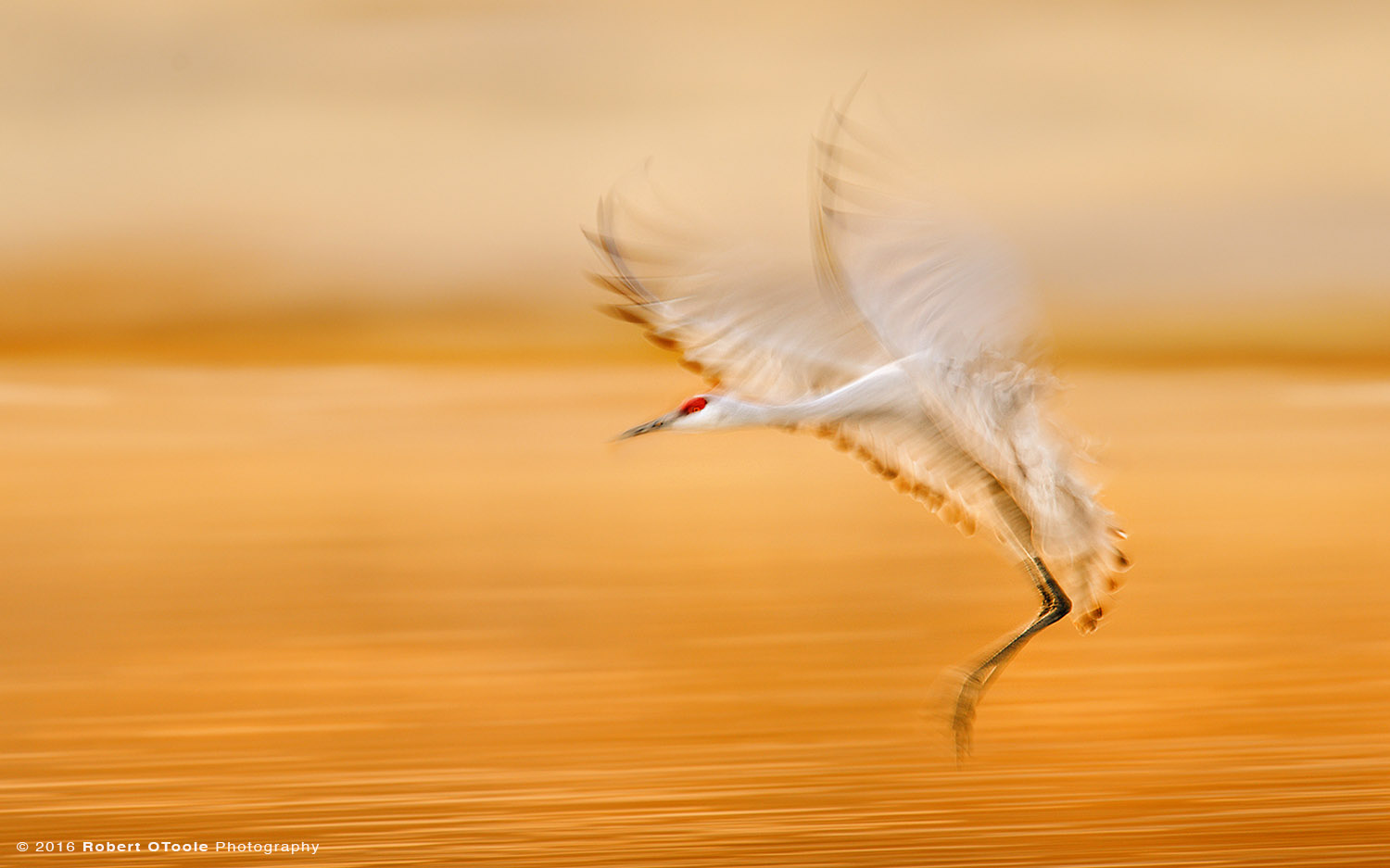 Sandhill Crane Landing at 1/20th s