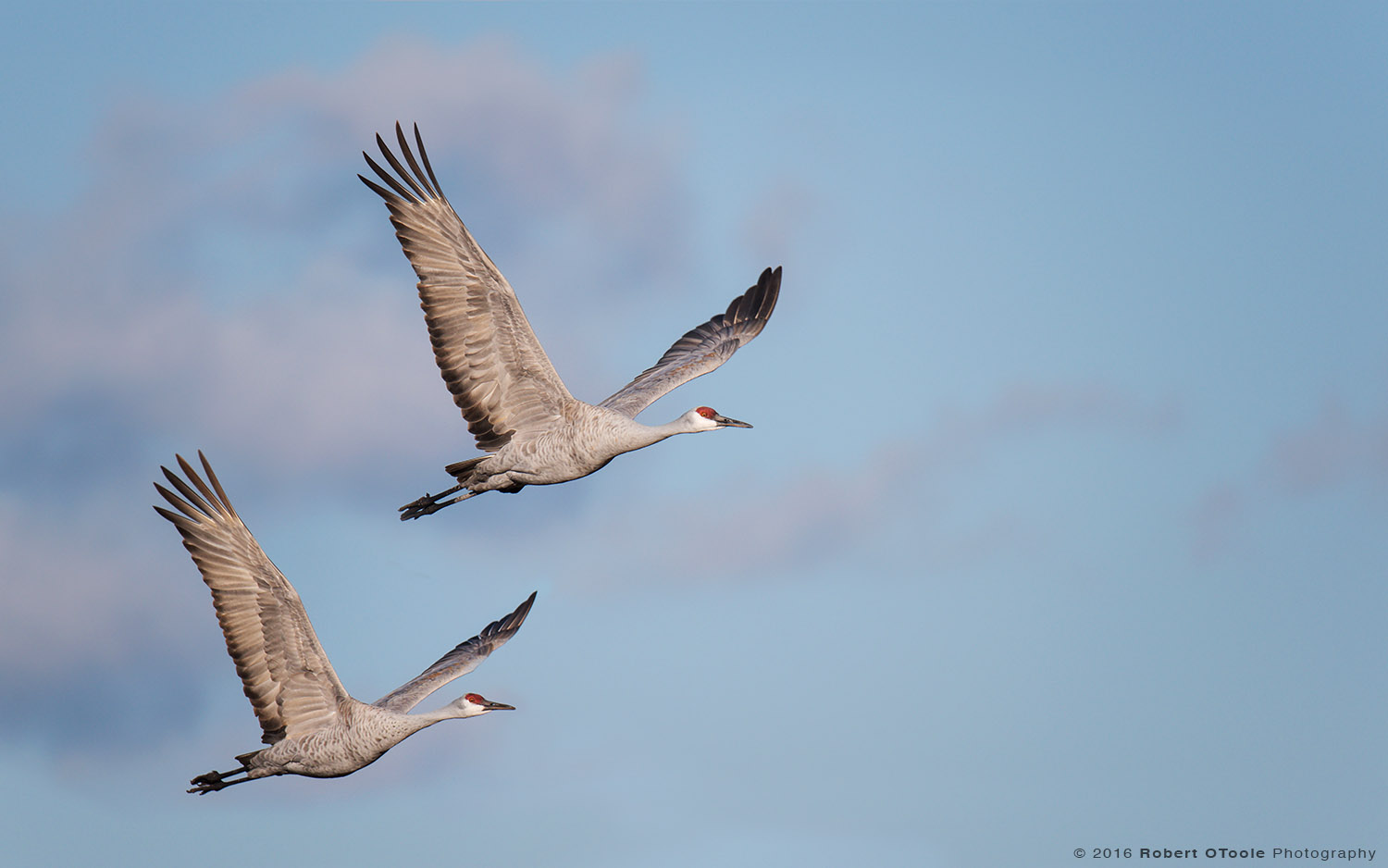 Pair of Sandhill Cranes Synchronized in Flight