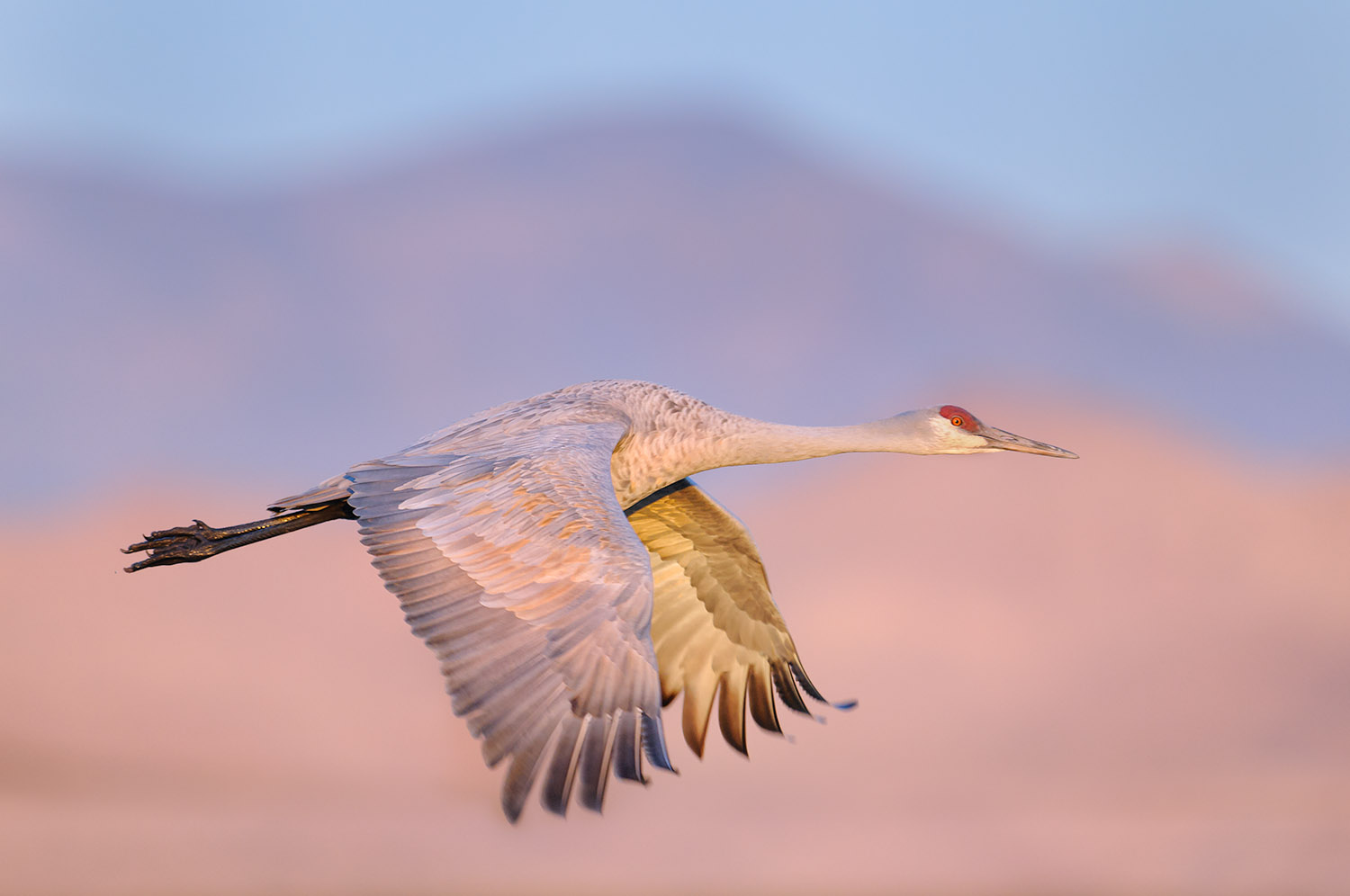 Sandhill Crane and Chupadera Mountains in Morning Light