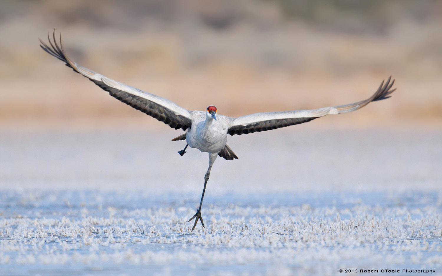 Sandhill Crane Taking off on Ice