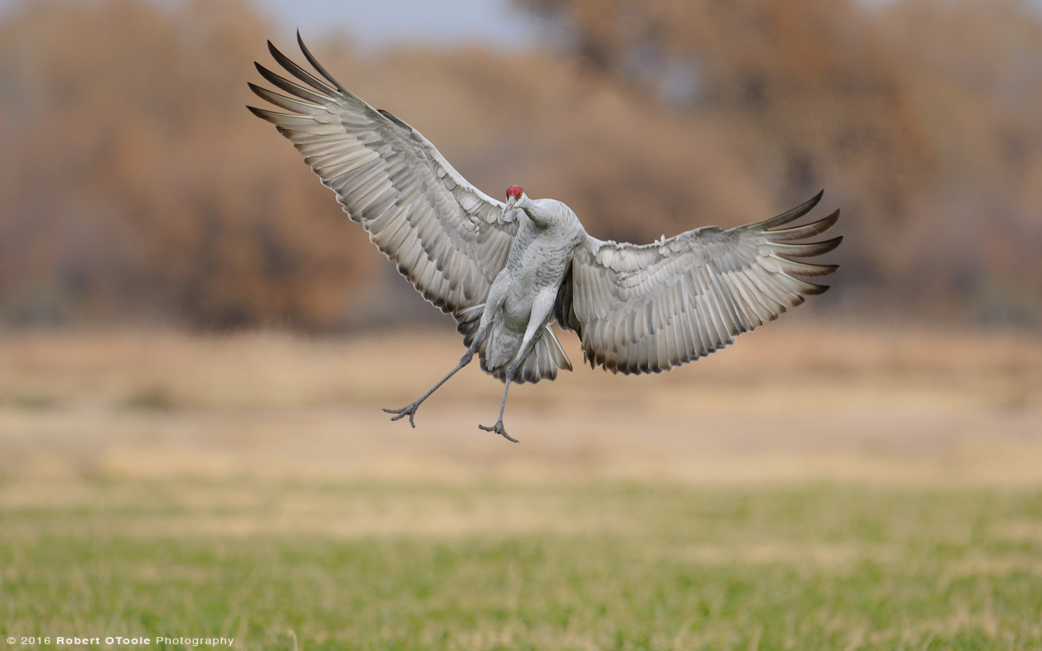 Sandhill Crane Coming in for Landing