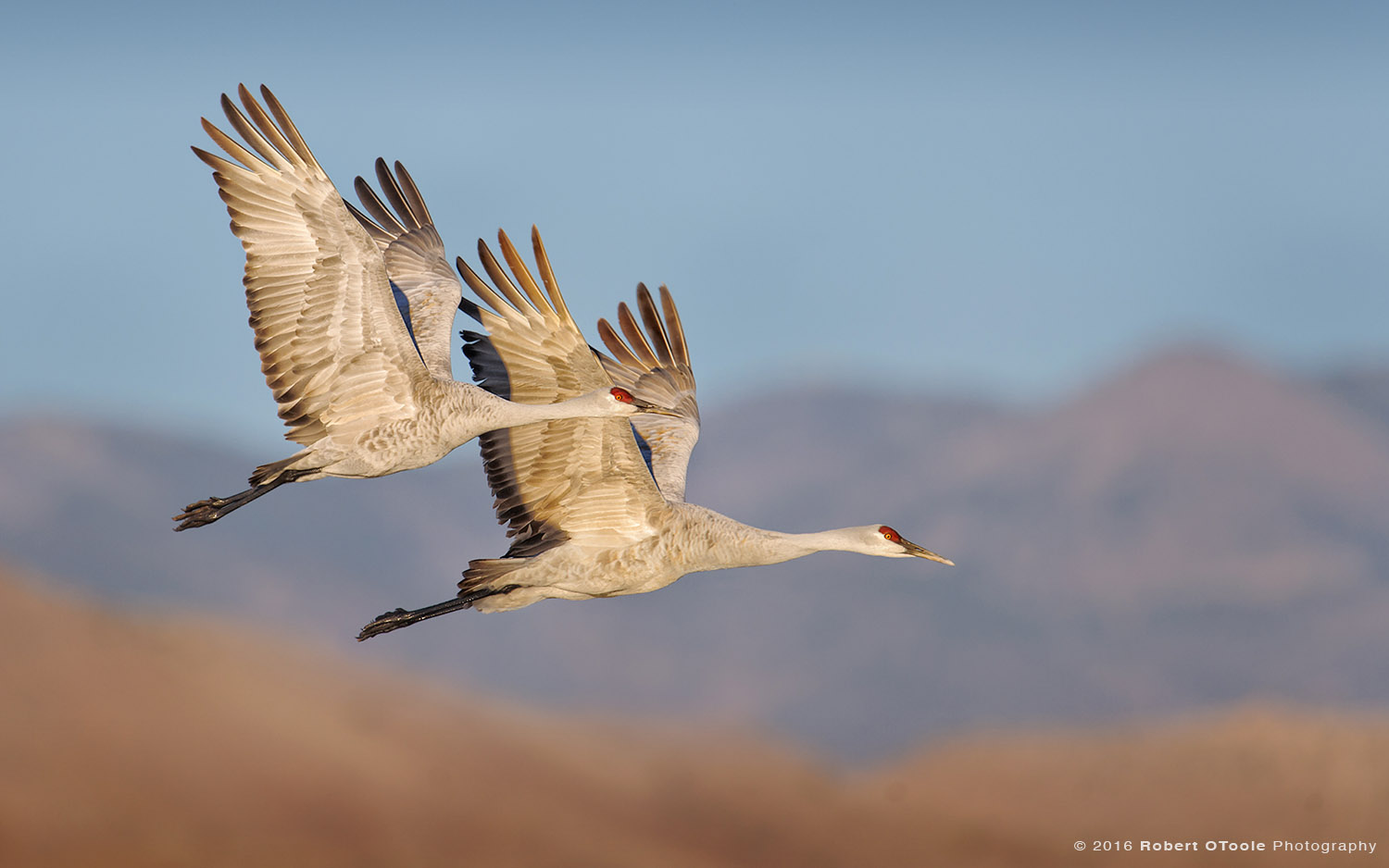Sandhill Cranes Synchronized in Flight over Chupadera Mountains