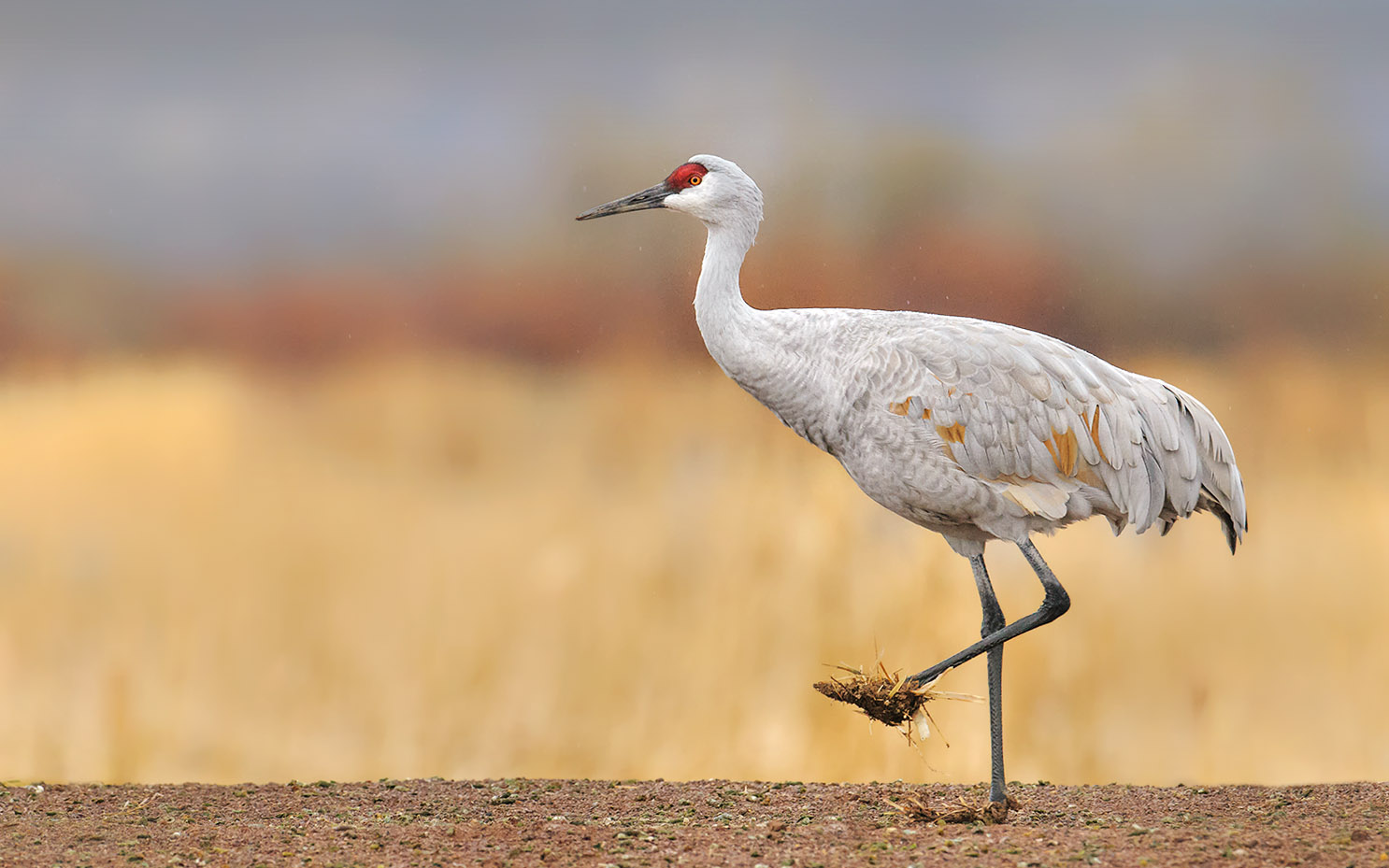 Sandhill Crane with Muddy Feet