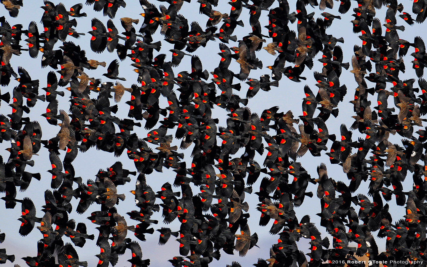 Huge flock of Red Winged Black Birds in the Sky