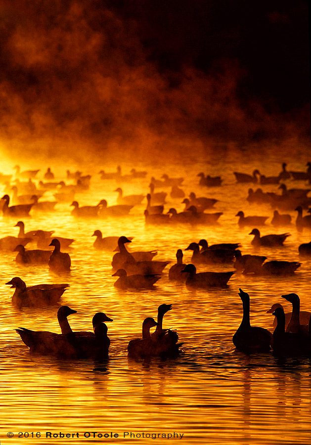 Snow Geese and Fire in the Mist