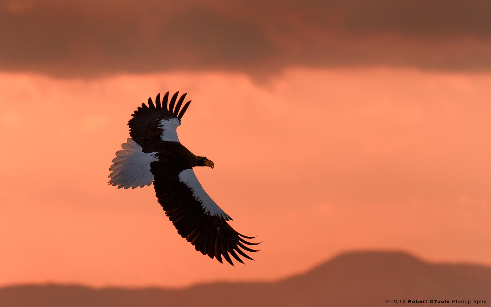 Steller's Sea Eagle and Sunrise Colors