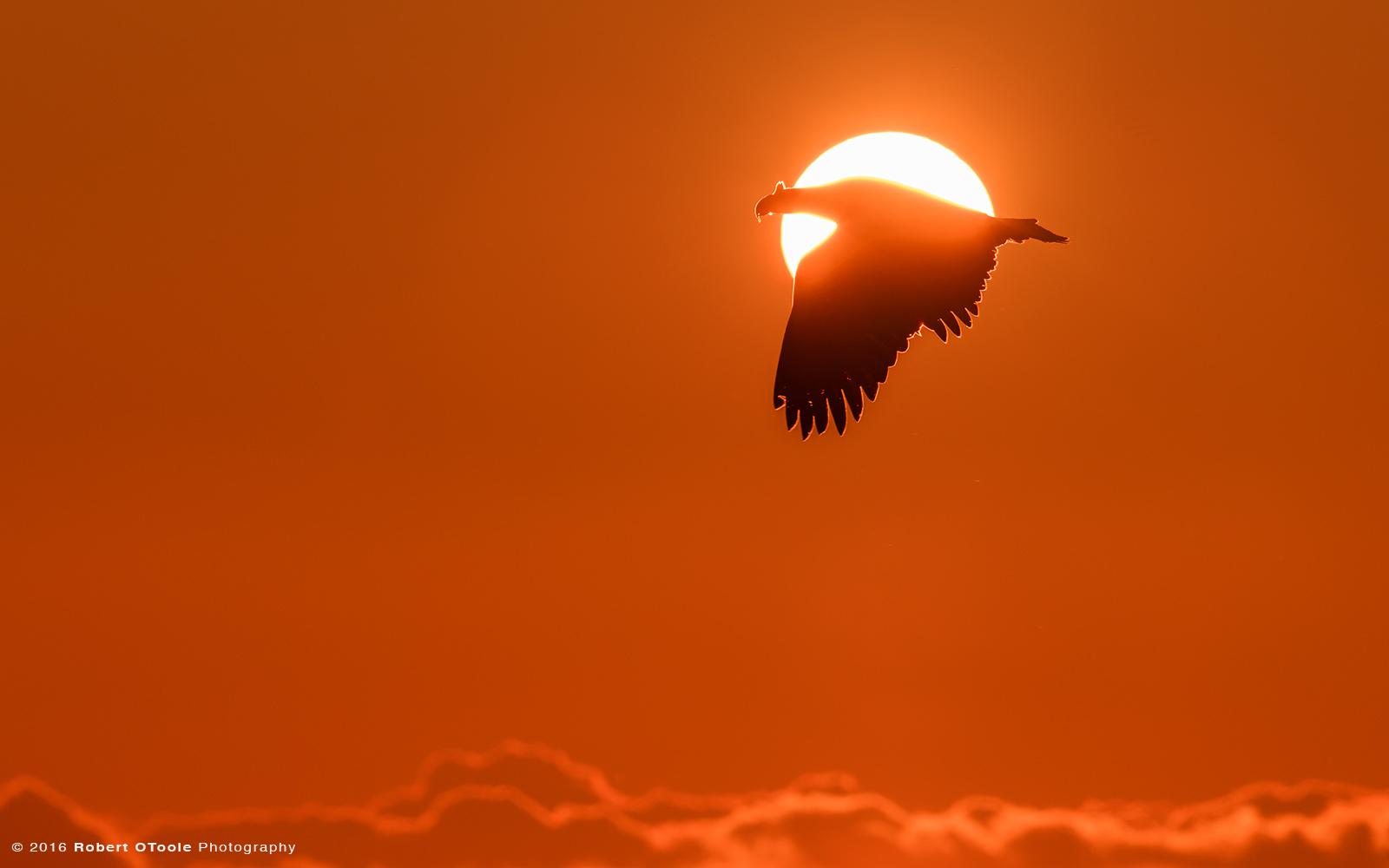 Steller's Sea Eagle Flying through Sun Disk at Sunrise