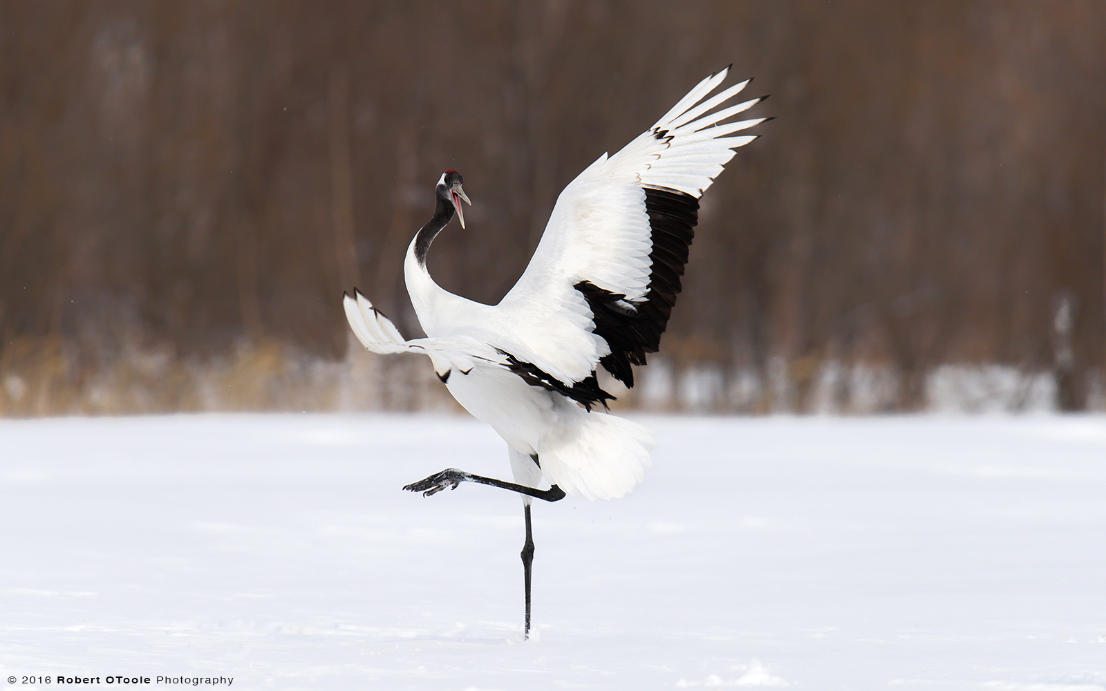 Red-Crowned Crane Calling and Dancing