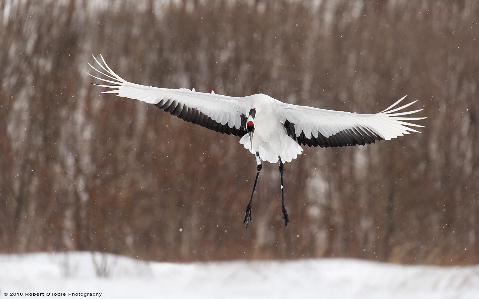 Red-Crowned Crane Landing on Snow